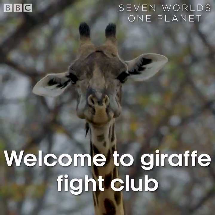 The first rule of fight club... 🦒 #SevenWorldsOnePlanet