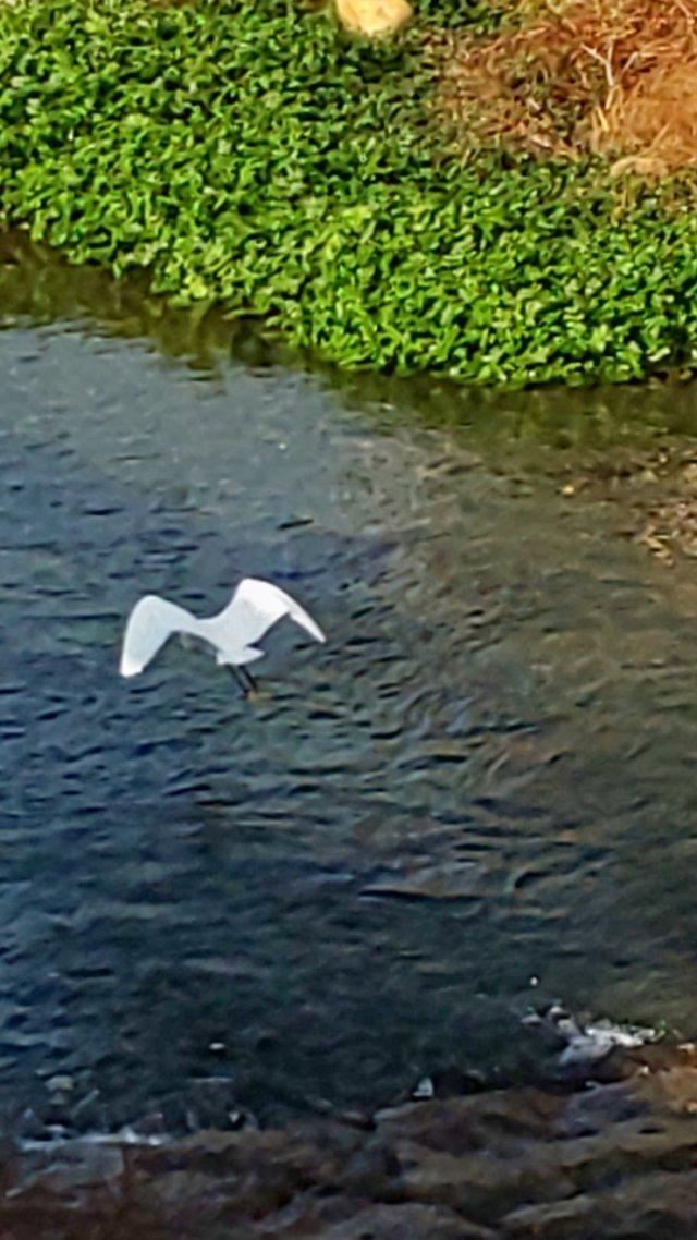 小鷺 #小鷺 #コサギ #川 #水鏡 #reflection