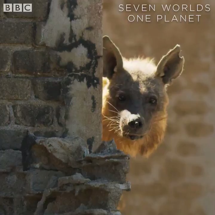 This ghost town is home to one very rare animal. #SevenWorldsOnePlanet