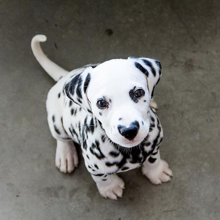 Look at that  on nose  Rate this picture out of 10  By @ hi.wiley   #dalmatian #dalmatianpuppy #dalmatianpuppies #dalmatianworld #dalmatianlovers #dalmatians #dogsrule #dog #dogs #dogsofinstagram #doggy #dogstagram #puppy #puppies #puppyoftheday #puppiesofig #petspic.twitter.com/jKrGH3wMKS