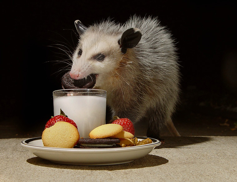 opossum removal,