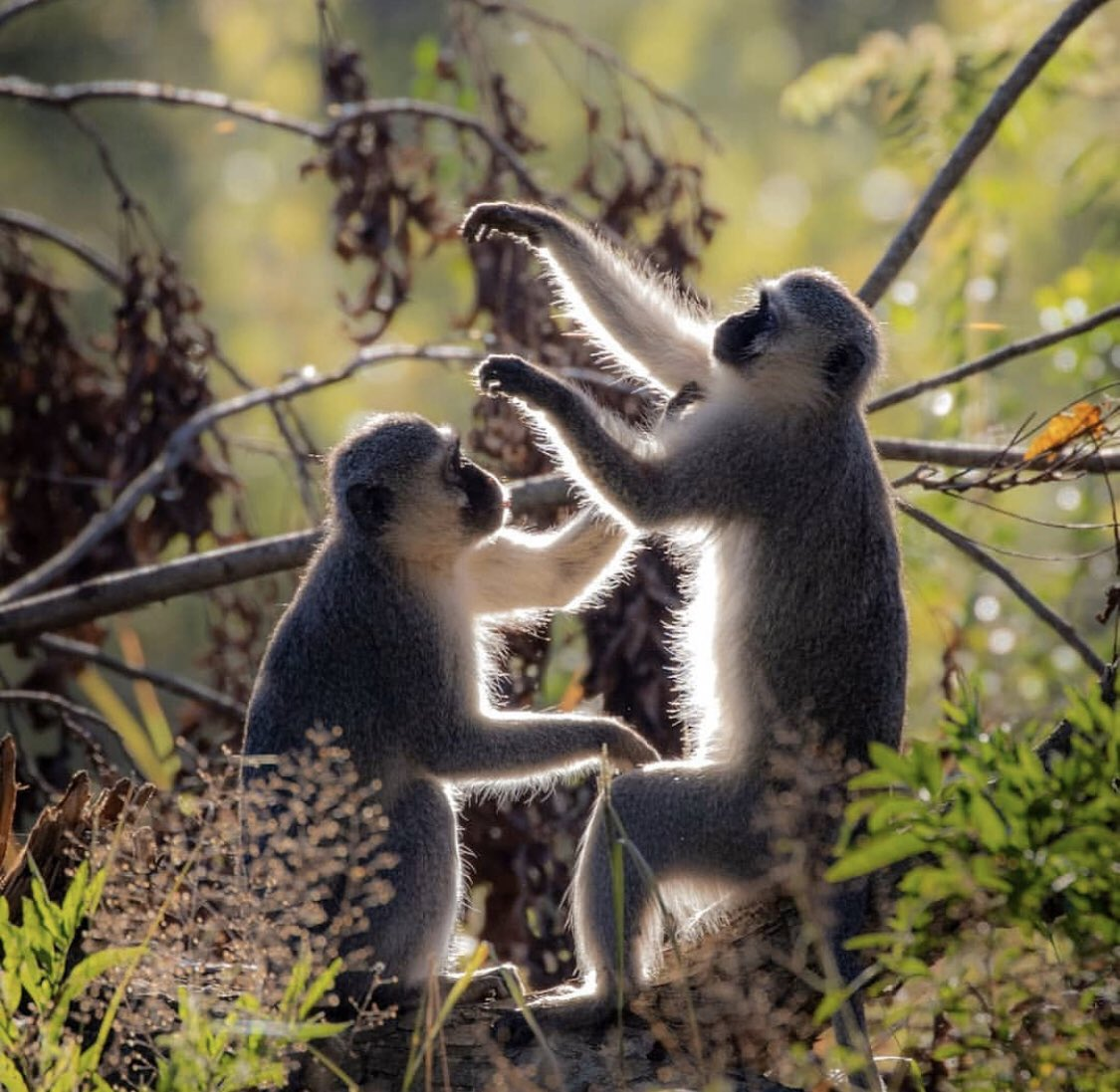 Monkeys are some of the most charismatic animals in Africa. Watching them in their natural habitat is always amazing .pic.twitter.com/5lt80PzUJR