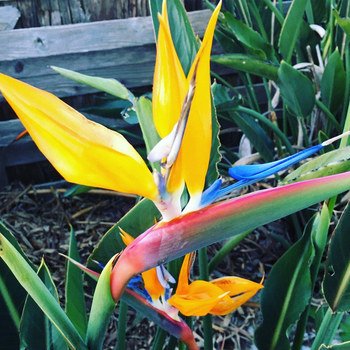 公園の天国の鳥が満開です🌷🌸🌺🌻 #ストレチア #極楽鳥花 #天国の鳥 #花 #フラワー #エキゾチックな花 #大きく厚みのある葉 #鳥に似た花