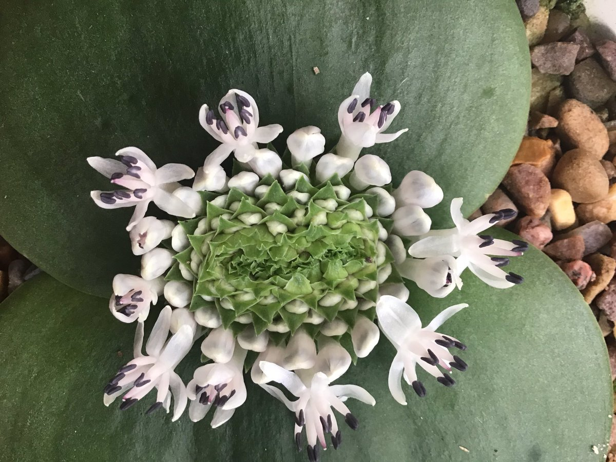 The flowers of Massonias are endlessly fascinating! Massonia hirsuta demonstrating concentric whirling! #BCSS #CacusSucculent #Southafricanbulbcollection #Kirkstonebotanica #geophyte #xerophyte #Massoniacollection #Massoniahirssutapic.twitter.com/t9zN0NQ5Md