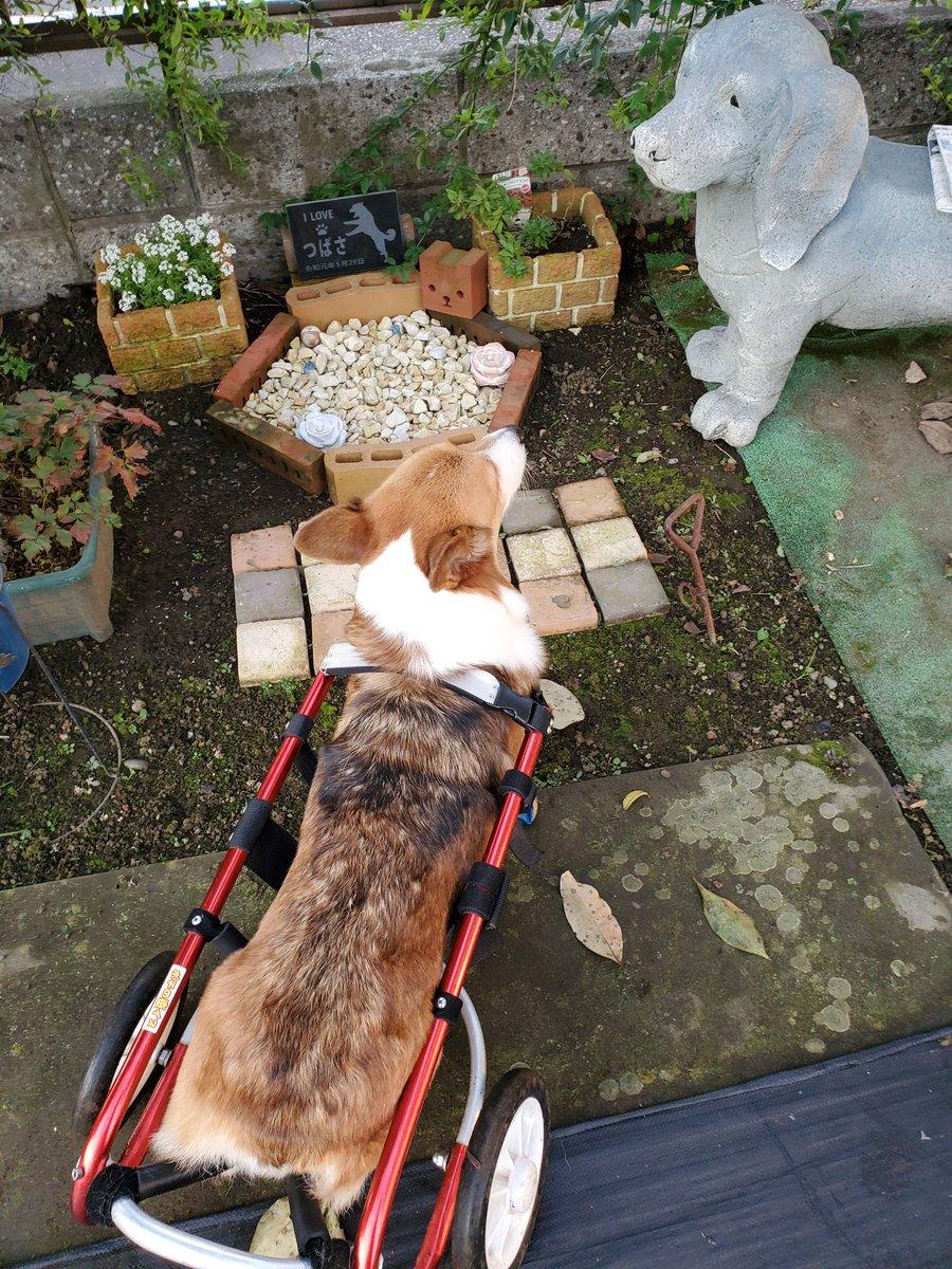 春さんの恋犬です。今年5月🌈へ。分骨してお庭に。春さんは翼のとこ行こうと言うと必ずお墓に。ワンちゃんって凄い😁#コーギー