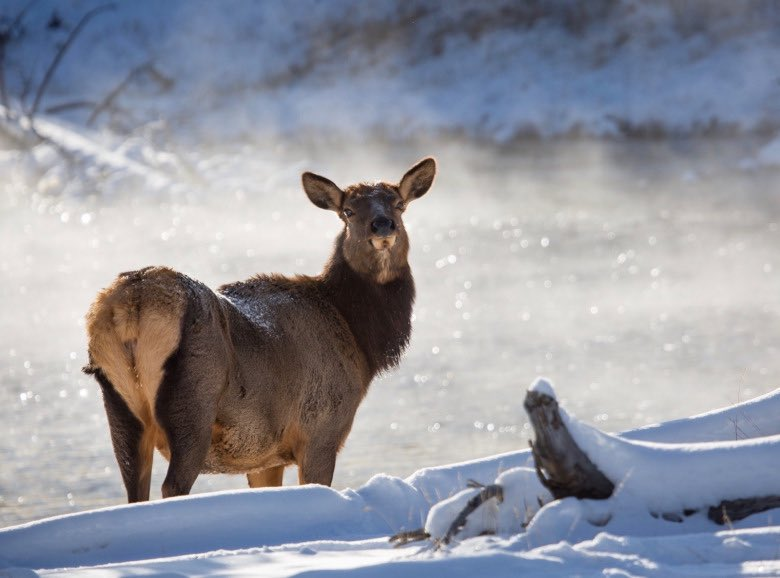 For the first time ever, chronic wasting disease reaches wild elk in Montana. What you need to know: mountainjournal.org/chronic-wastin…