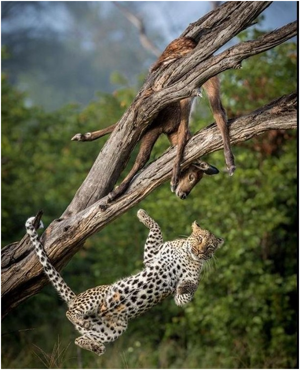 Catch me if you can!!! #mammal #bigcats #bigcat #natureisamazing #pocket_world #ig_divineshots #visual_heaven #biodiversity #saveearth #loveearth #outdoorsy #outdoorfun #mountainscape #earthexperience #naturegood #naturerocks #naturevibes #natureloves #naturepicture #naturepark