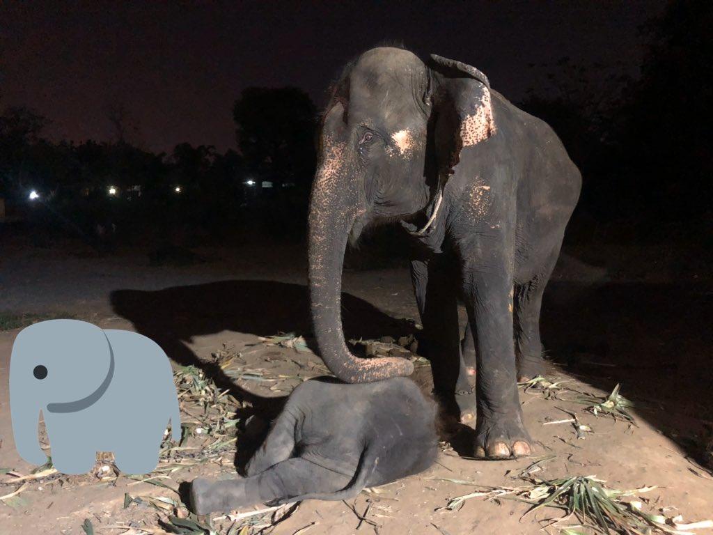 Ngam-Choke w/ Wassana #elephants #thaielephants #animalpic.twitter.com/j95BRKuJcA
