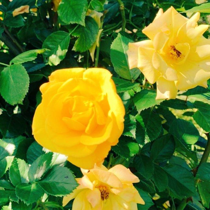 おはようございます。 今日、明日は剛くんの #はっぴょう会 ♪ 私は参加できないけど、みんなで楽しんでくださいね。 剛くんガンバ! 三軒茶屋は #everydaymeals さん #trufflebakery さん #佐藤青果店 さんがあるので楽しめますね! #私の_世界に一つだけの花  #SMAP