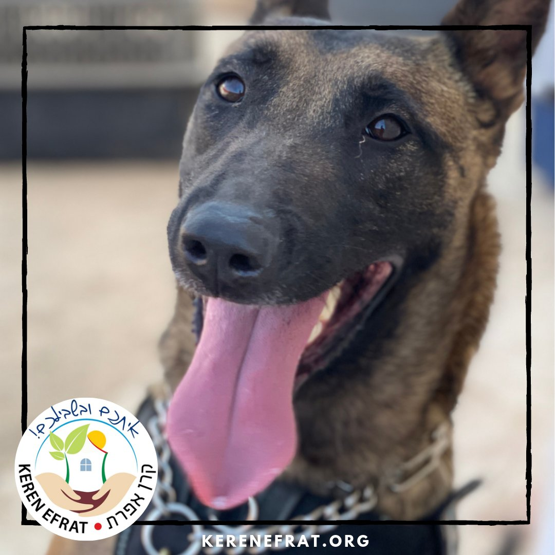Meet Sneakers, one of #Efrat's fearless Belgium Shepherd security #dogs, trained by the #Israel Dog Unit's #GushEtzion chapter.   A valued member of our community, we are grateful for her dedication & commitment to keeping us all safe each & every day!   #WeAreEfrat pic.twitter.com/L69NLb5vxr