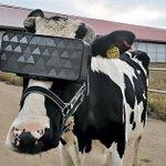 【速報】牛もVR体験をする時代になる!