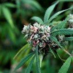 Image for the Tweet beginning: #marijuana #cannabis #news-  Cannabis stocks tanked