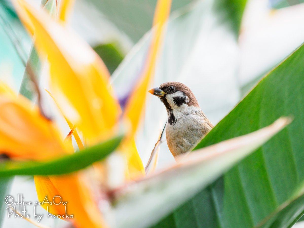 今日の写真は極楽鳥花の蜜を吸ってた雀 極寒の2月、温室の中に楽し気な歌声が聞こえる そして、極楽鳥はスズメ目だったりします(^_^; あ…明日は創世スクエアで #セレクトマーケット ですヽ(´▽`)/  #北海道クリエイターの底力 #鳥 #スズメ #花 #極楽鳥花 #ストレリチア #olympus #海蒼絵葉書館 #写真