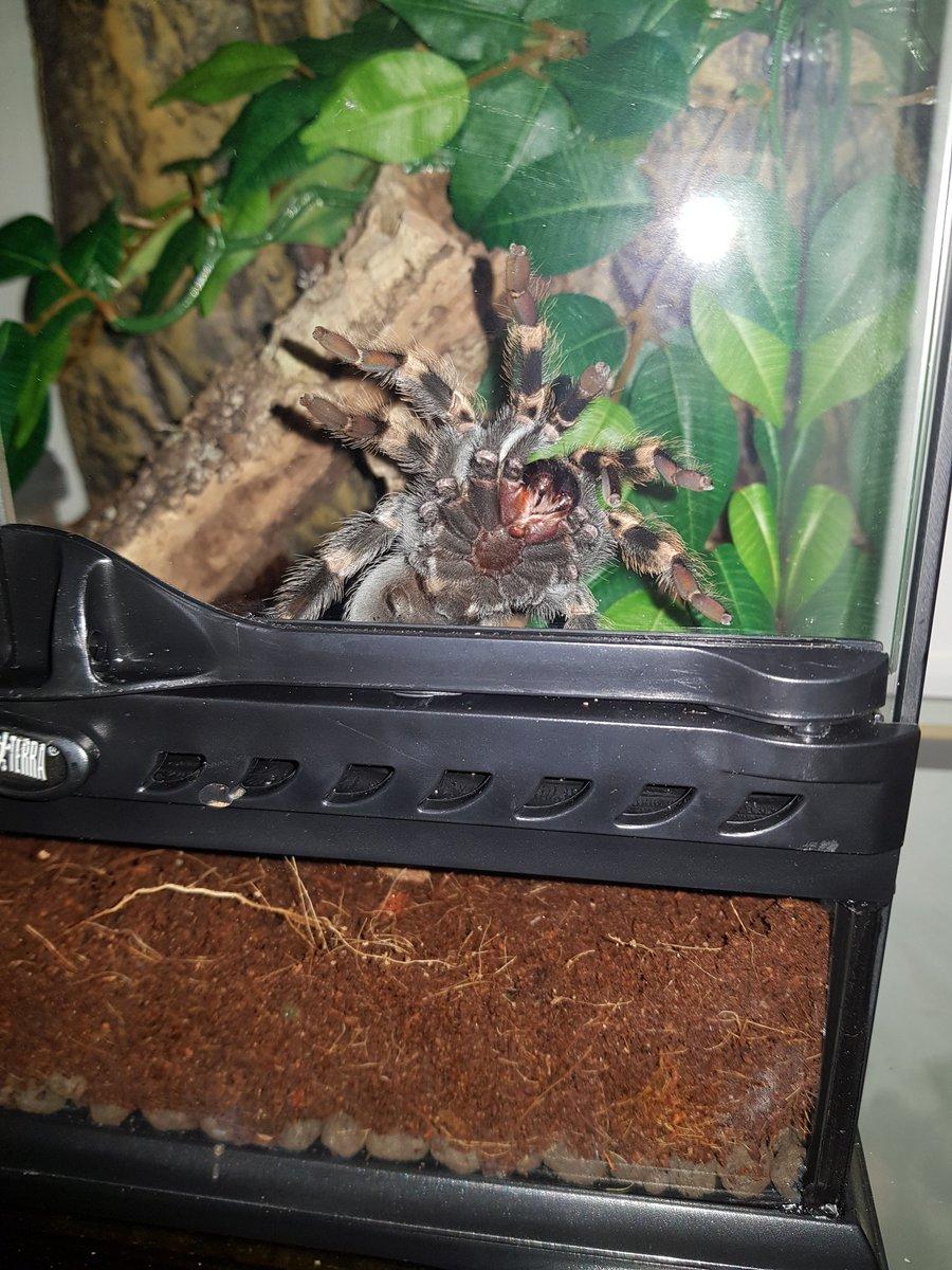 Look at those fangs. #Tarantula #brachypelmahamorii pic.twitter.com/z3pFe93m07