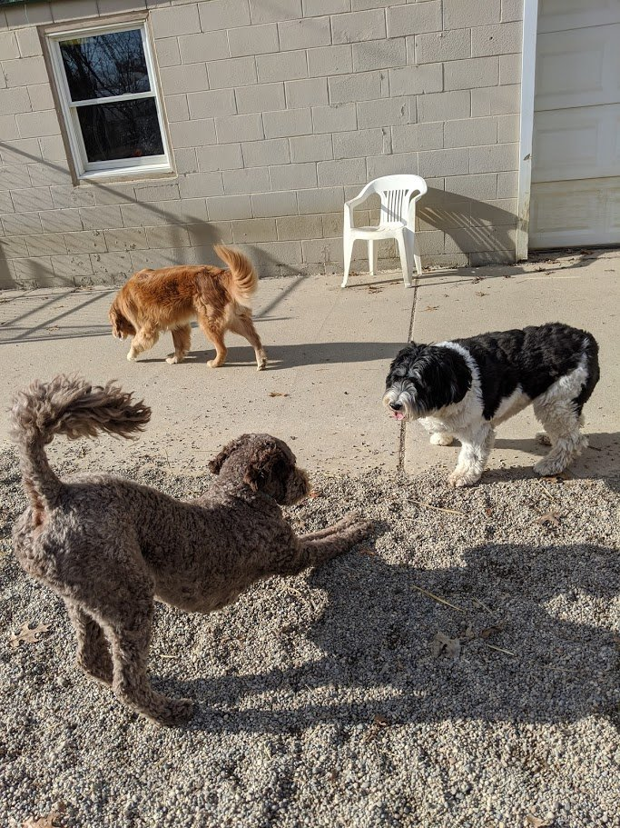 Bella, Tucker, and Rosie enjoy playing together!
