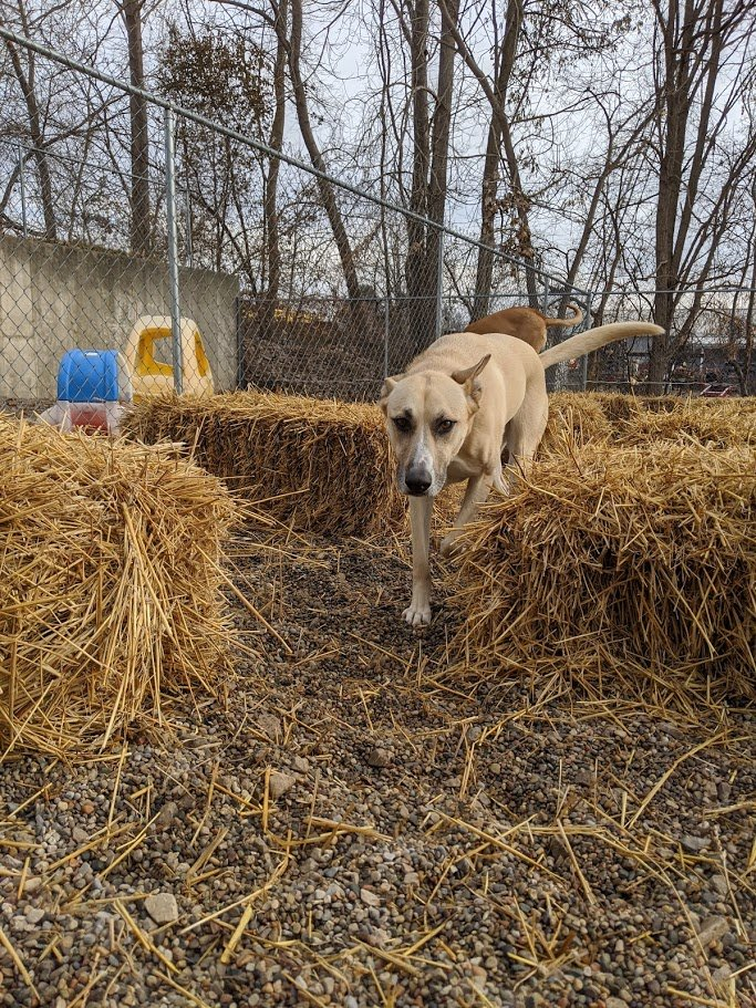 Hachi enjoys the straw in the yard!