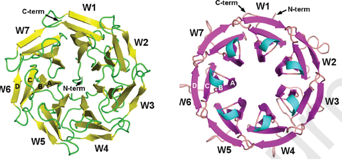 Two new lectins in opportunistic bacteria : Fine b-propellers from our collaboration with @CEITEC_Brno publihed in IJBM https://t.co/hNc9oyhWye https://t.co/RHEQlorJq1