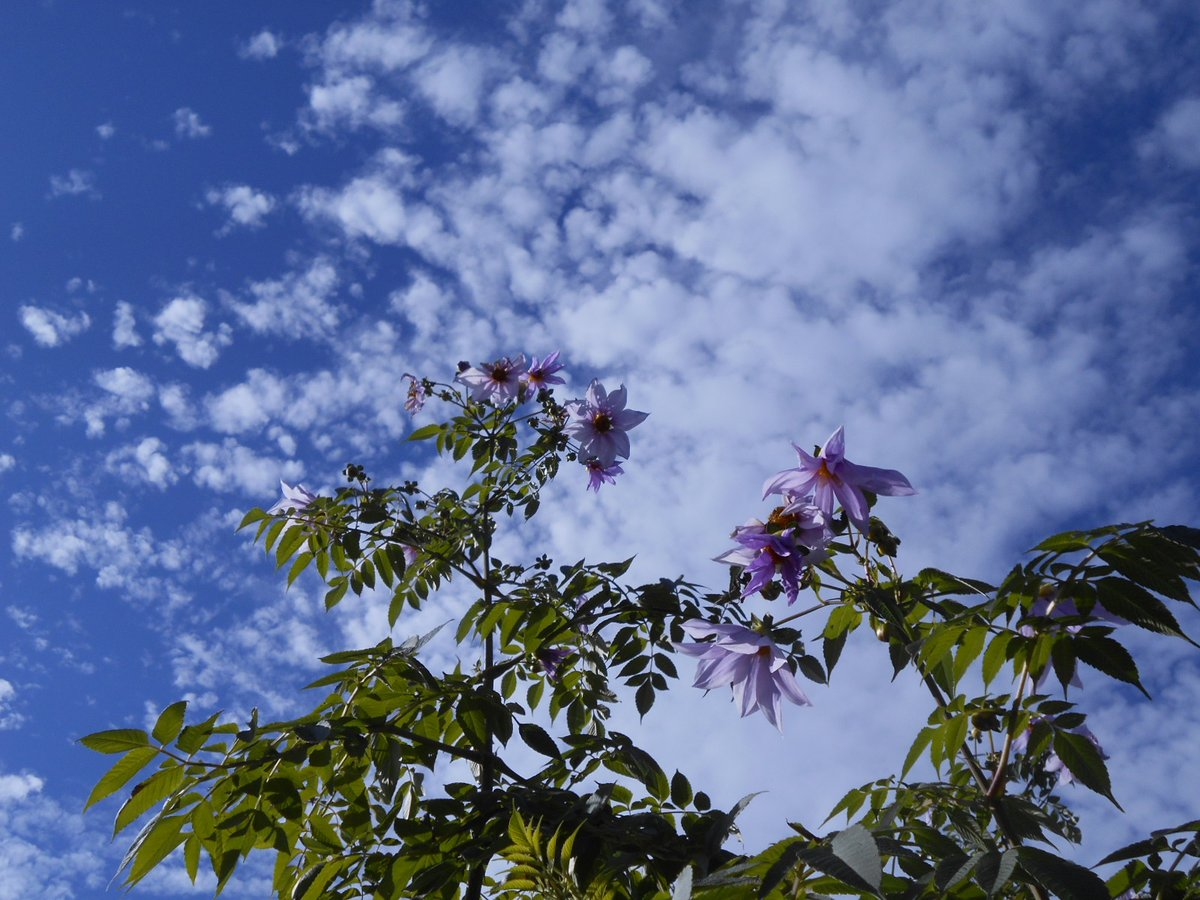 舎人公園の駅を降りて左側のボラティア花壇に、すごーーーーーく背の高い皇帝ダリアがとっても凛々しく咲いています♪ 近くでご覧になる時は、首が垂直に近いくらい見上げないとご覧になれないので、お気をつけてください♪🌸