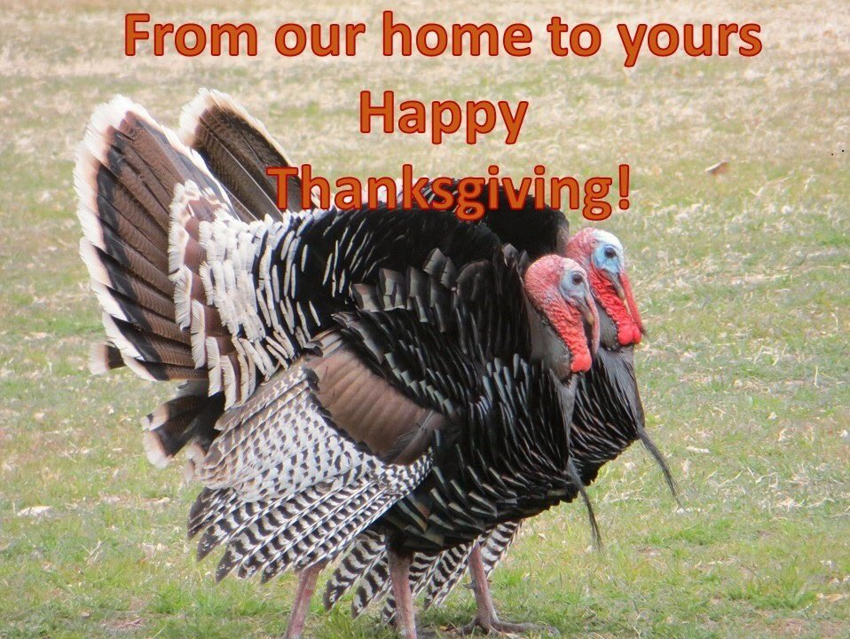 Our local Gould's turkeys make fantastic Thanksgiving super models.