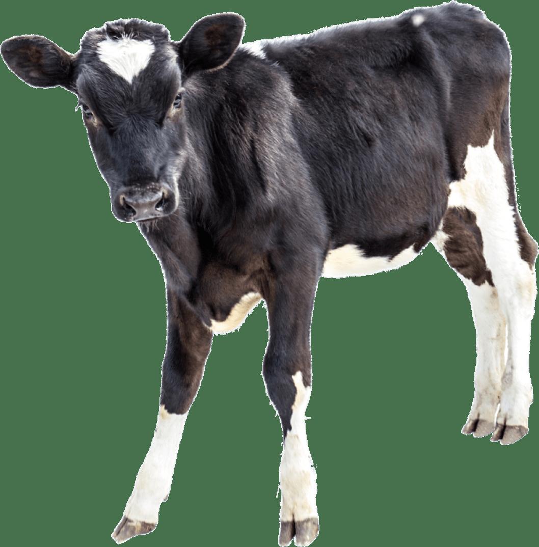 Картинки бычка черного бычка