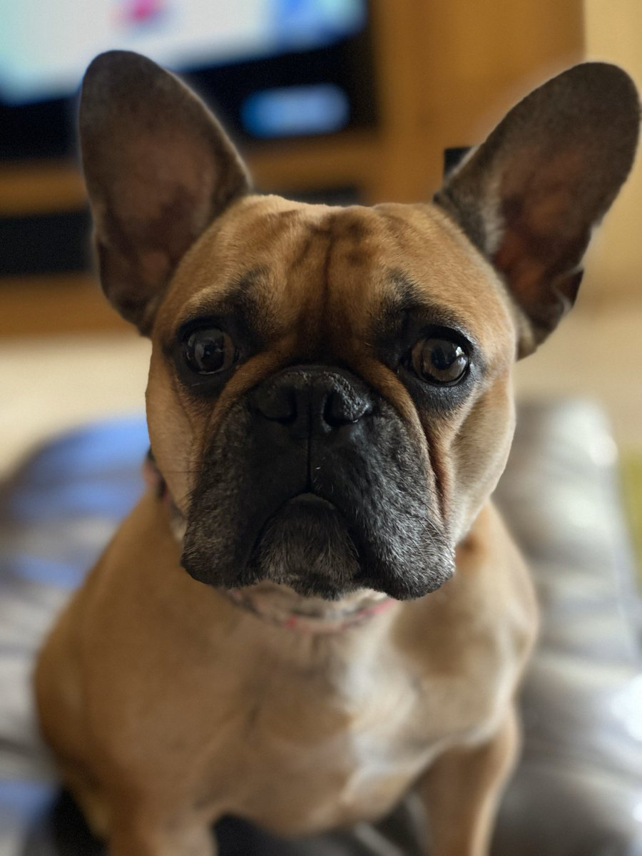 @emmalovett_com My name is Kenzi and although I'm a perfect lady, I fart 💨 ... a lot! That's what Frenchies do 🐶