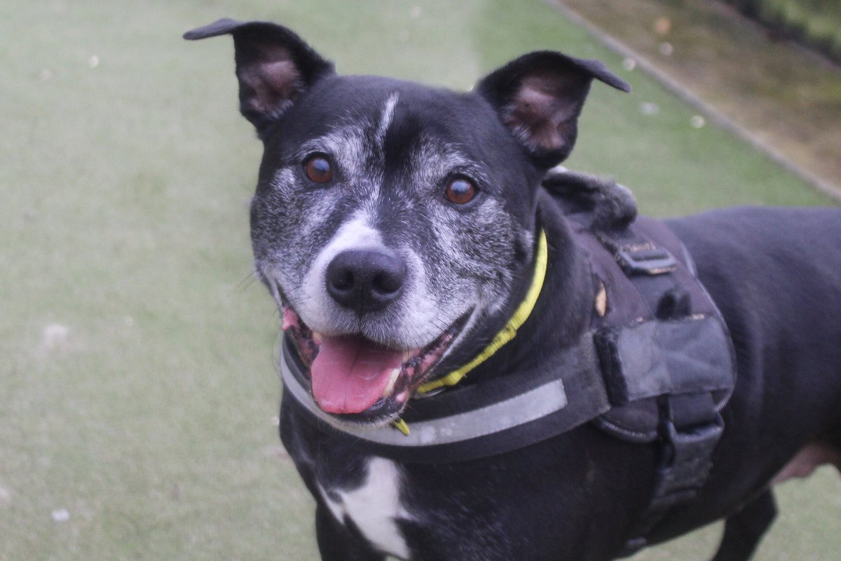🖤It's #BlackFriday so say hello to KYE🖤 This super handsome Staffy is looking for adopters who will give him loads of #snuggles!🥰 👇Meet him👇 bit.ly/MCRkye #rescuedog #blackdog #staffy #dogoftheday #fridayfeeling #feelgood #feelgoodfriday #friyey @DogsTrust