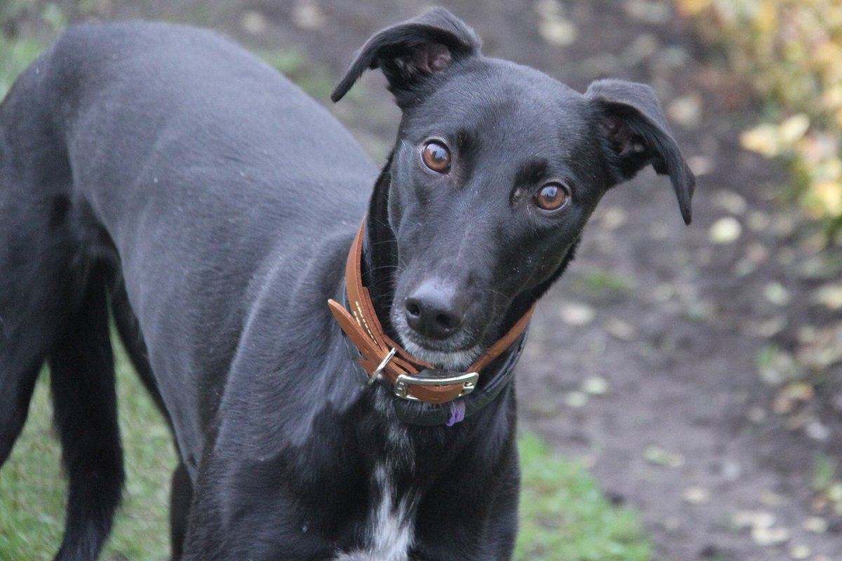 🖤Another #BlackFriday beauty for you...LIONEL🖤 This lovely 2yr old Lurcher would love a new home with people who'll help him grow in confidence❤️ 👇Meet him👇 bit.ly/mcrLIONEL #rescuedog #manchester #blackdog #lurcher #lurcherlove #dogoftheday #adoptdontshop @DogsTrust