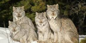#SaveLodge49 Did you know there are four types of Lynx? I'm partial to the Canadian lynx since that's my home now. #drynxwithlynx #Lodge49