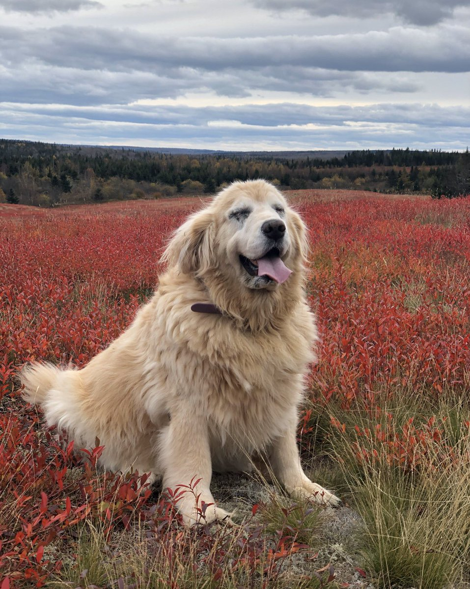 This is Daisy. She is queen chonk of this hilltop. Been visiting it for the last 12 years. Likes to smile in every direction before she leaves. 14/10 #SeniorPupSaturday