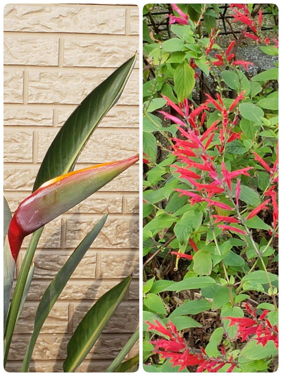 我が家のお花達~🌼 極楽鳥花とパイナップルセ-ジ😍❤️ 極楽鳥花はまだ、咲いてないけど…っ 色が鮮やかになってきたから…っ もうすぐ咲きそうっ😍🎵 もう12月なのに❄️ビックリ👀‼️ #ガーデニング #極楽鳥花 #パイナップルセ-ジ