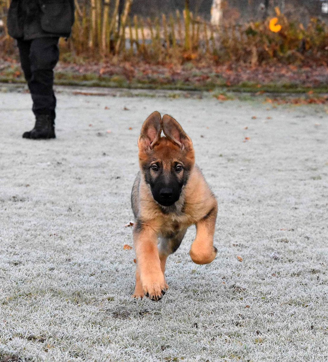 In these early stages it's important that our trainees are well socialised. That means having a bit of fun, even on these cold mornings! #pupdate