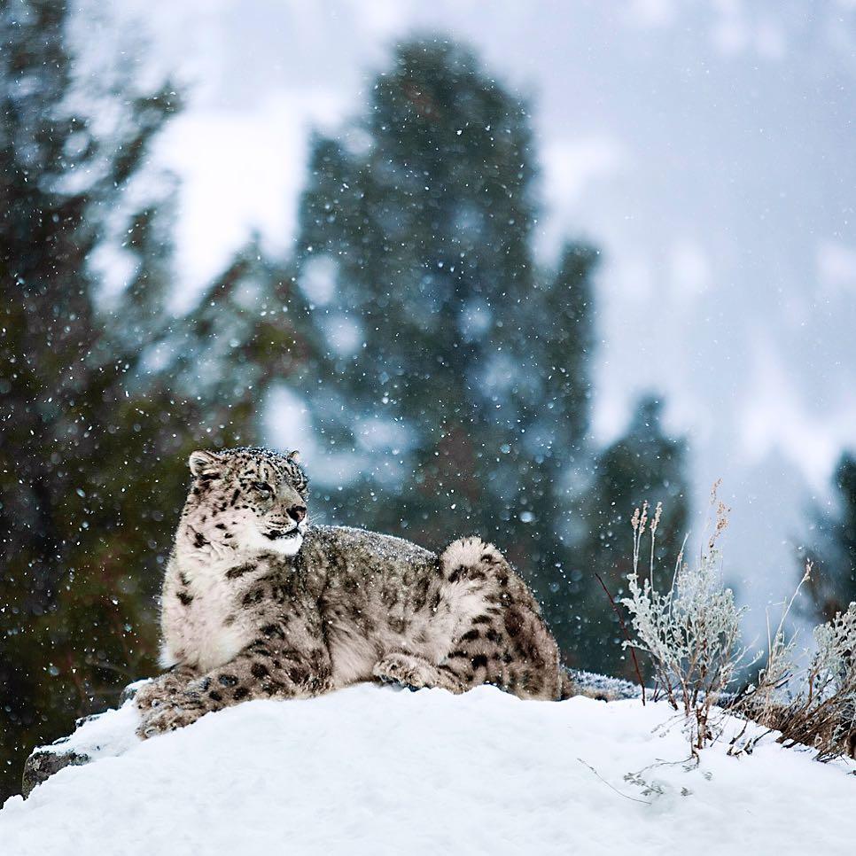 картинки снежного барса с людьми завершены