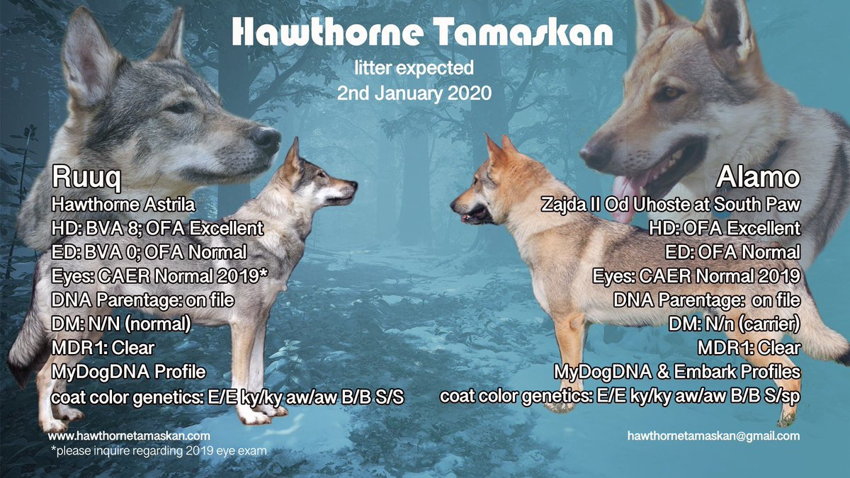 Confirmed pregnancy at Hawthorne Tamaskan between Ruuq & Alamo! Puppies expected 2/1/20 They're still looking for applicants; email them hawthornetamaskan@gmail.com #TDR #TamaskanDogRegister #TamaskanDog #Tamaskan #Dog #DogsOfTwitter #LitterAnnouncement #TamaskanPuppies #Puppies