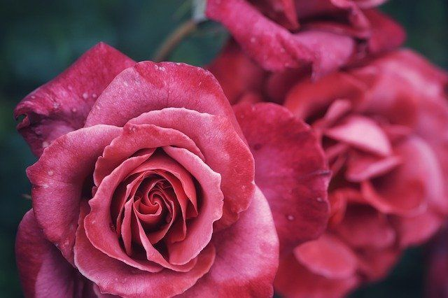 Gorgeous Roses Close-Upby vuxoan  https://pixabay.com/p-4639241 #roses