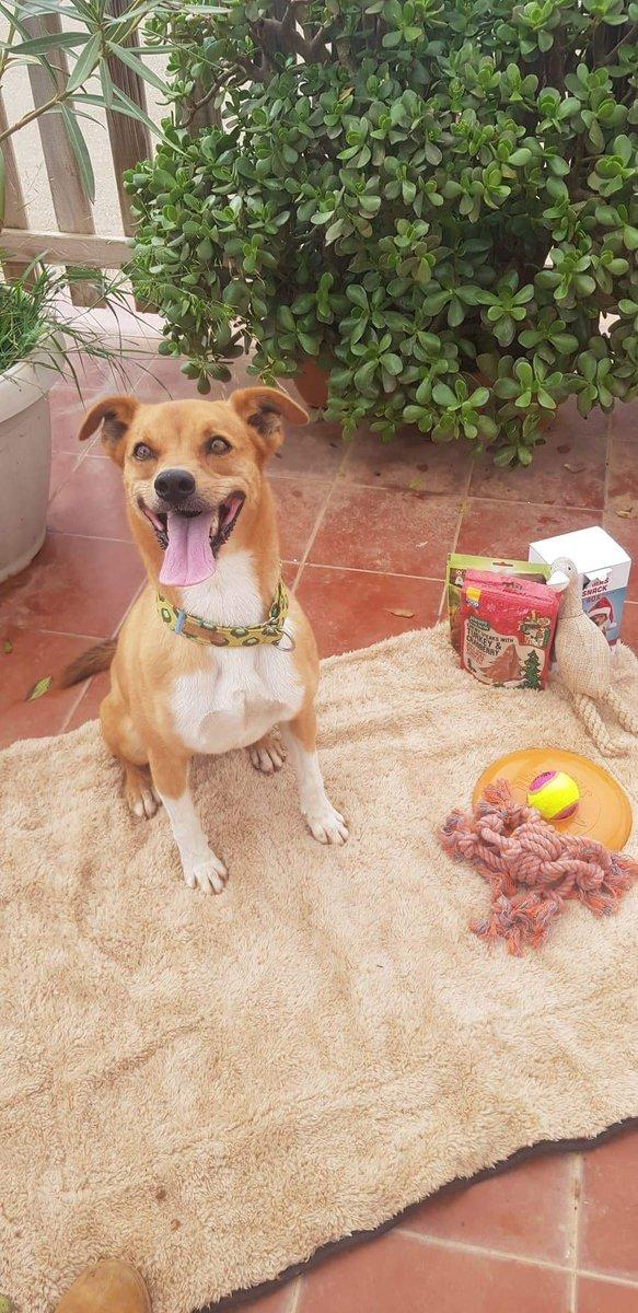 Llegan los primeros regalos de navidad de Galgos - spanische Seelenhunde Weihnachtswichteln. Ellos y nosotros queremos agradecer estos gestos de cariño por vuestra parte, es muy reconfortante ver que os acordáis de los animales más desfavorecidos Apadrina: https://fundacionbm.com/hazte-padrino/pic.twitter.com/1z0gjbeBK7