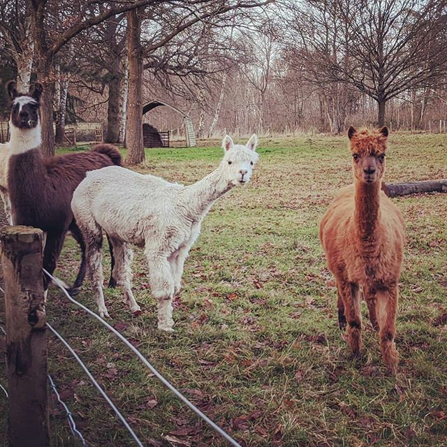 "It's the ""wot?"" Look that amused me most!  Curious, friendly alpacas wondering just what sort of muddy creatures were approaching them ... @adventuresofpadme @angharibo @rubber.band.dropset @spacetwink94 @cljmollett @historicalsimon #alpacas #countrywalks https://ift.tt/2qUA2FN pic.twitter.com/hs4xACYVhr"