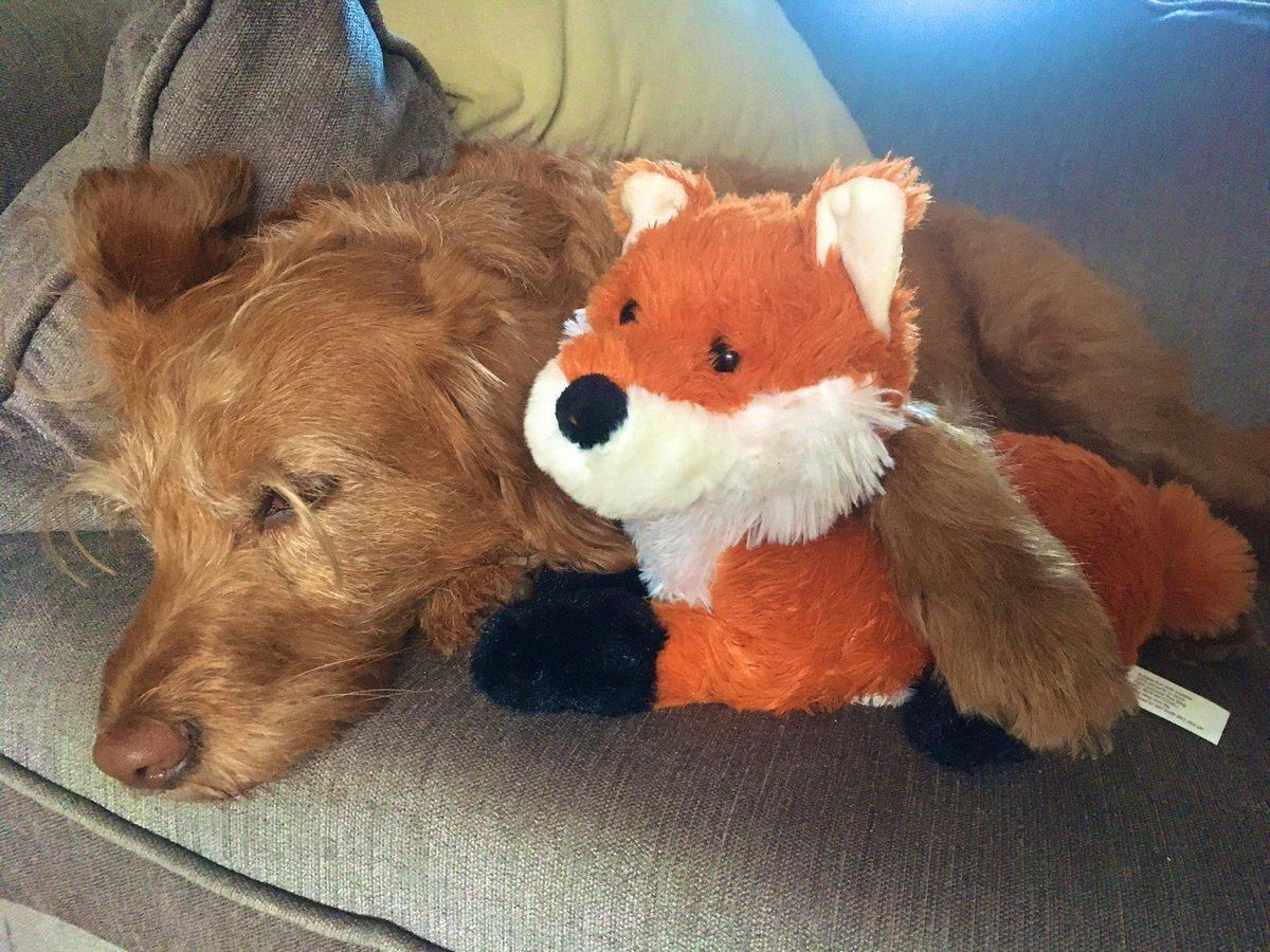 Lazy Sunday morning on the sofa with my mate Filbert 🦊#SundayMorning #sundayvibes #labradoodle #vibes #chillin