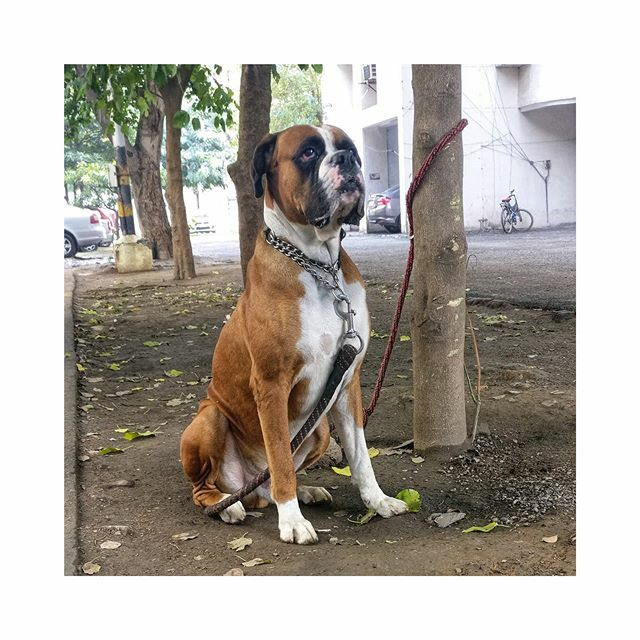 We tethered Rex to a tree and did  basic obedience drills around it - recall, sit and 3-5 sec sit-stays. Good control over one's dog goes a long long way to prevent and help reduce behaviour issues. . . . . #boxersofinstagram #boxer #boxerdog #showdog #d… https://ift.tt/36IY8CJpic.twitter.com/iHDGTtif5h
