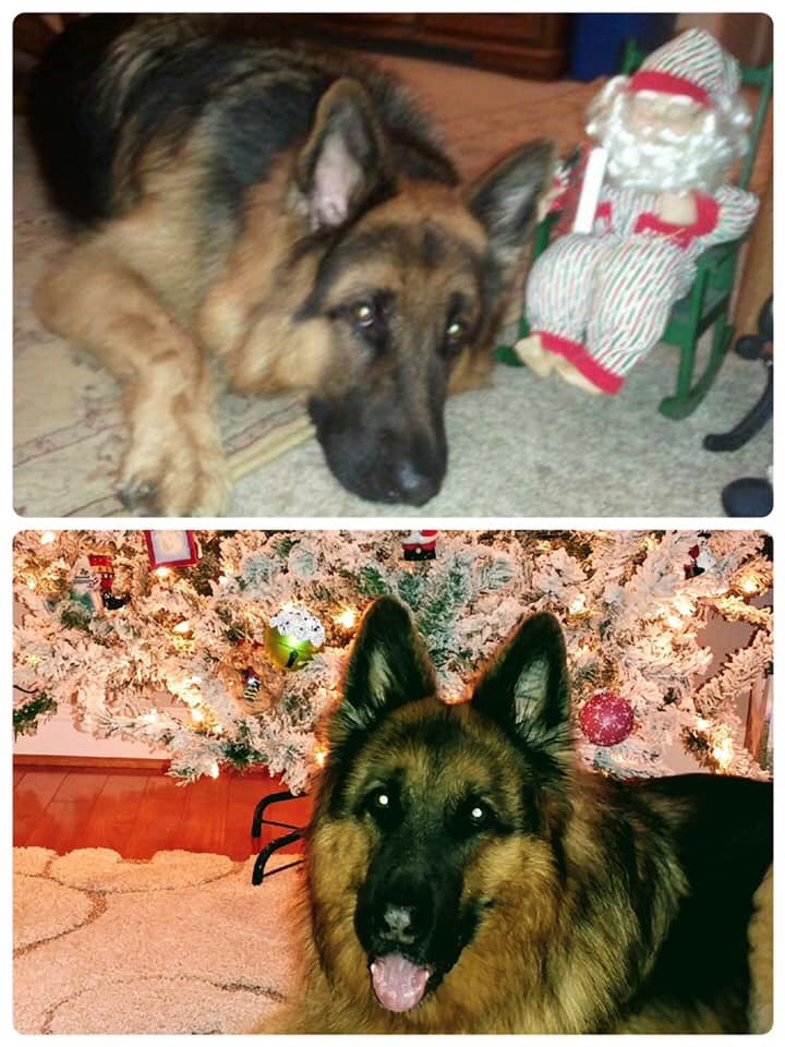 Our 3rd Dog of Christmas is K9 King! Happy Holidays everyone!! #retiredk9s #pawsofhonor #k9slovetheholidays #gsdlove pic.twitter.com/HaAowJxAAs