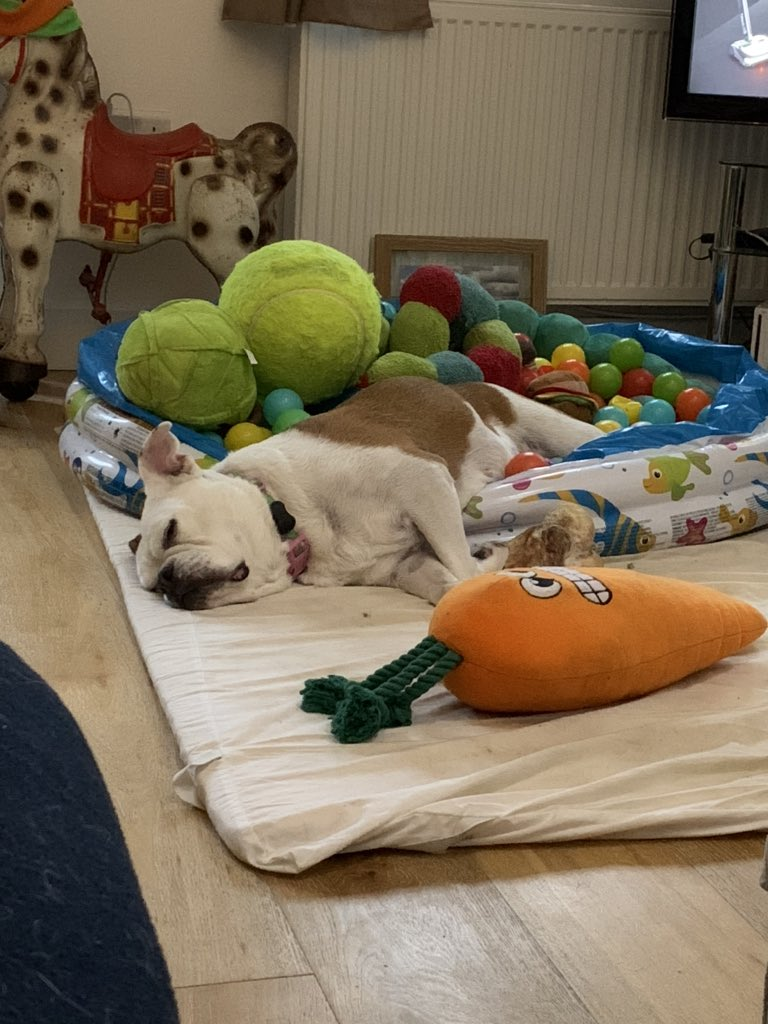 My rescue doggo exhausted after playing in her ball pool with all the toys! 😍#LoveHer #RescueDog #RescueBulldog