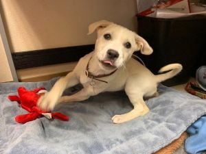 This is Penny. She is a Yellow Labrador Retriever from All Aboard Animal Rescue. Adopt me: https://www.petfinder.com/dog/penny-46801046/co/fort-collins/all-aboard-animal-rescue-co324/?referrer_id=d85a00ad-08c2-492f-a752-ca4acd2d8d2e …pic.twitter.com/w8JsQxV3aV