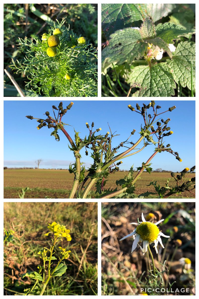 Only five for #WildflowerHour #TheWinter10 Pineapple weed, white nettle, sow thistle, charlock (?), mayweed. pic.twitter.com/7z6YFa9LvN