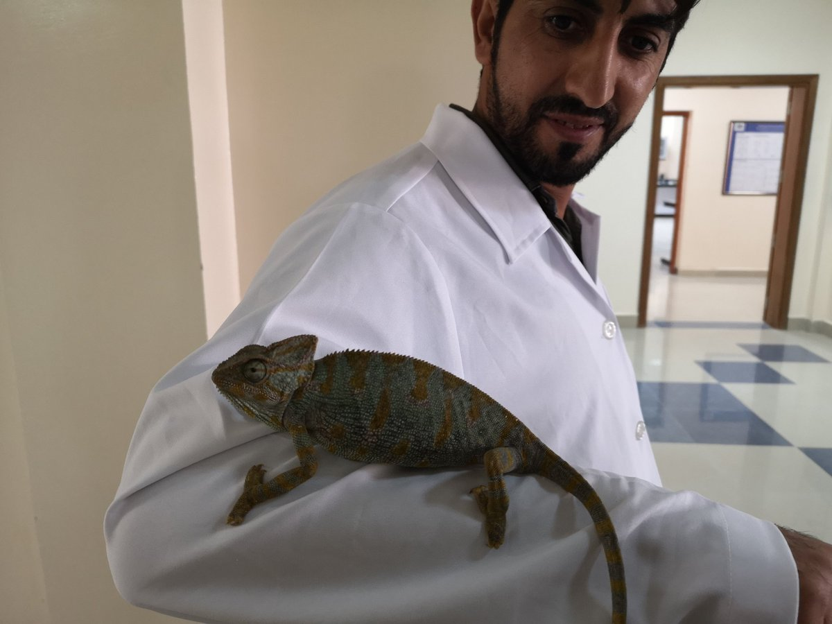 Meeting a chameleon in the corridor. He was hitching a ride to the greenhouses to sort out a bug situation. He was successful. pic.twitter.com/n4toDcDLIO
