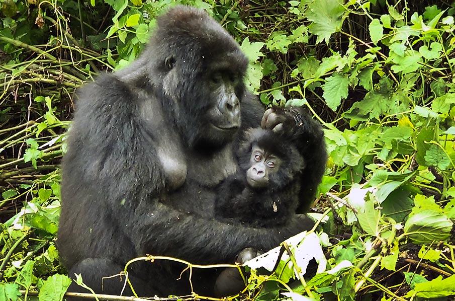 Conservation: La population de Gorilles de montagne s'élève désormais à 1 063 individus https://www.environews-rdc.org/2019/12/16/conservation-la-population-de-gorilles-de-montagne-seleve-desormais-a-1-063-individus/…pic.twitter.com/6qMHsu3COv