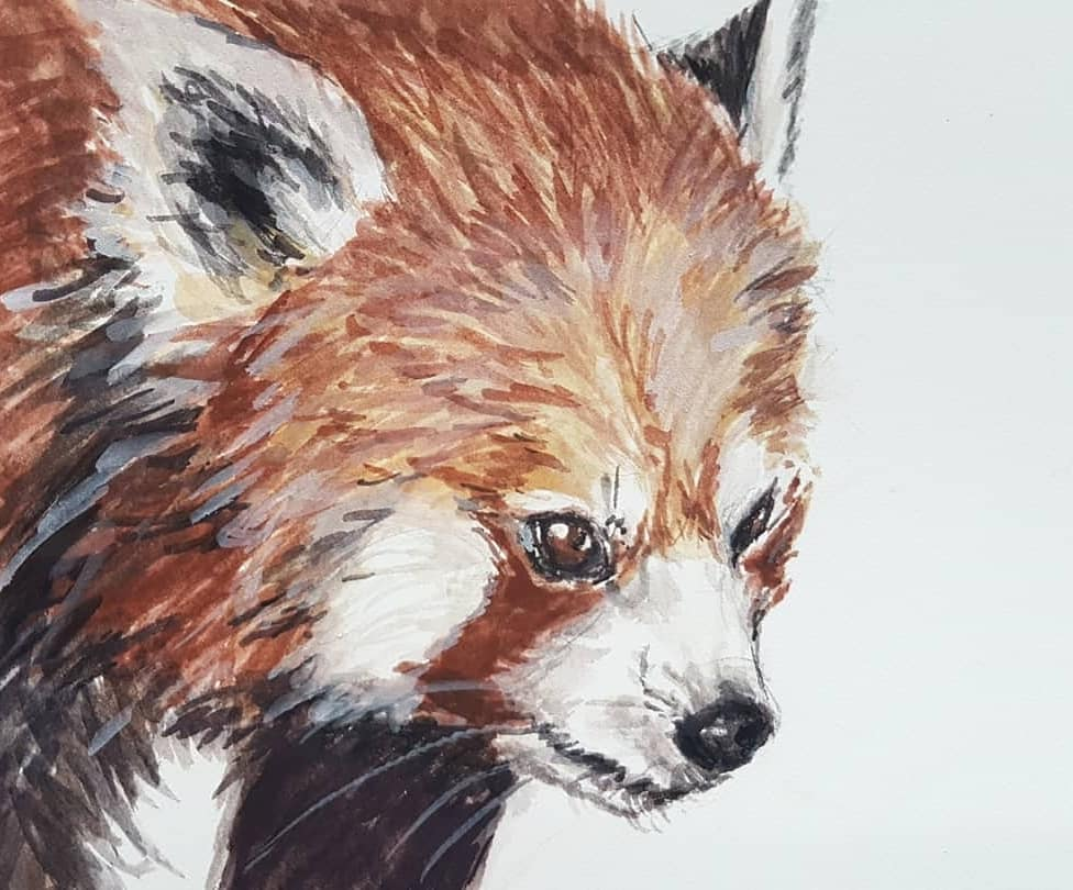 Red panda study to wind down from a stressful day last week. I like the fiery look of this little guy.  For sale.  #animalpainting #redpanda #cuteanimals #gouacheillustration #animalillustration #fluffyanimals  #animalstudy #natureillustration #swissart #wildlifeillustrationpic.twitter.com/SAaYDBpaKd