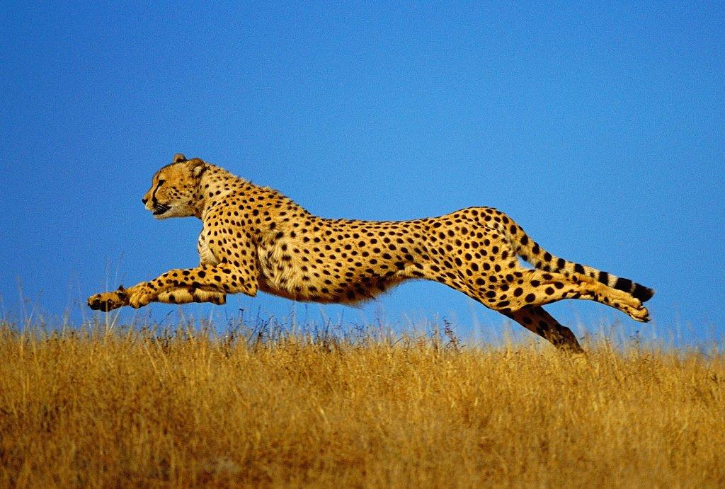 бегущий гепард картинка скороплодная культура