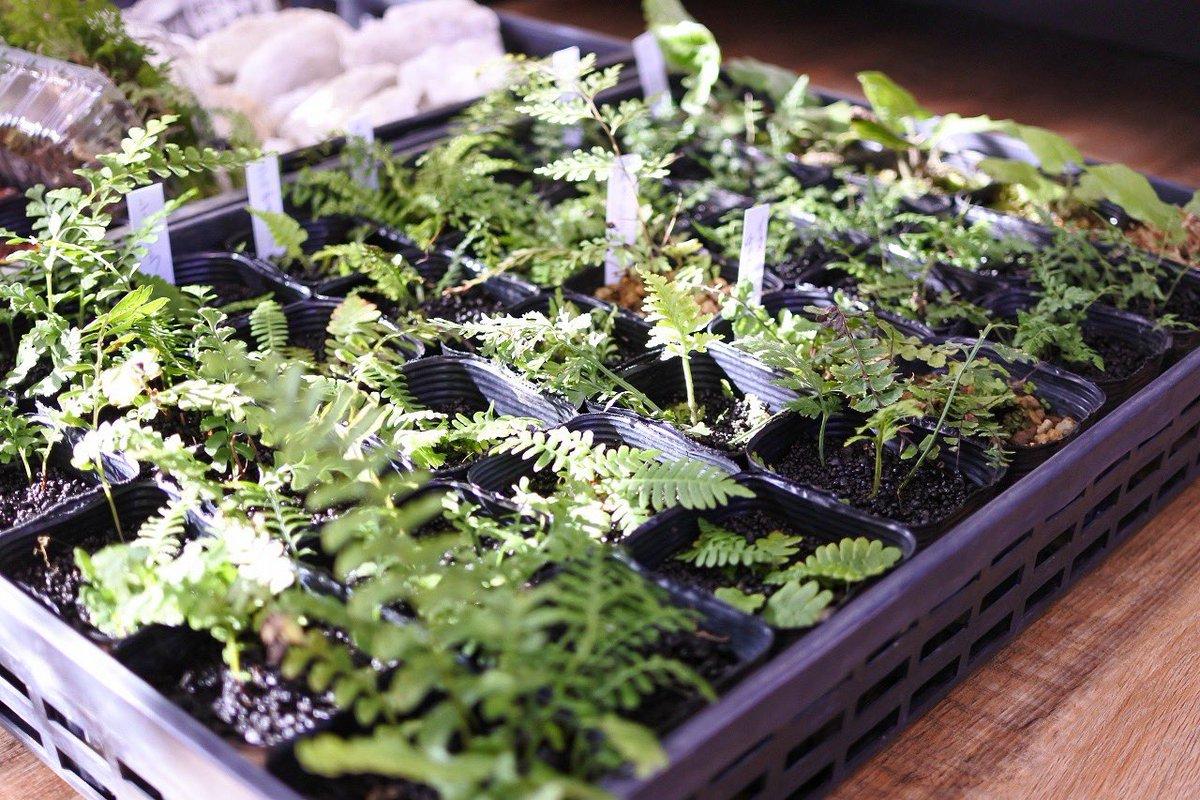 シダ、食虫、観葉植物を新たに10種類以上リリースしました!レイアウトが華やかになりますし、コケとの成長スピードの違いなども楽しめますね。欠品していた植物もたくさん入荷しましたよ♪新商品は、当店HPのオンラインショップ→新商品よりご覧いただけます^^