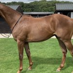 Shares available in SWING LOW powerful colt by Mayson to be trained by @omeararacing at York    For more info richard@gallopracing.com @Selby_FC @york_rufc @Harrogate_Rugby @GooleRUFC