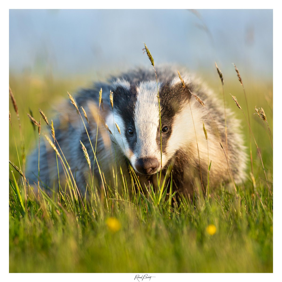 I'm excited to tell you that my Badger image has been shortlisted for the BPA Awards 2020, under the category Land Animal. Please help by voting for me, it's simple just follow the link below and click VOTE!  @CwallWildlife @CBWPS1 @RSPBImages @WildlifeMag