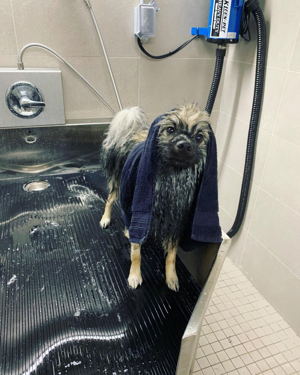 RT @AspenTheKees: My parents tortured me today!🛁🧼  #dogbath #keeshond #11monthsold #ckc #canadiankennelclub https://t.co/9GPQDFhmgE